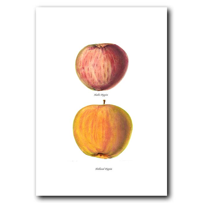 Fine art print for sale. Pippin Apples