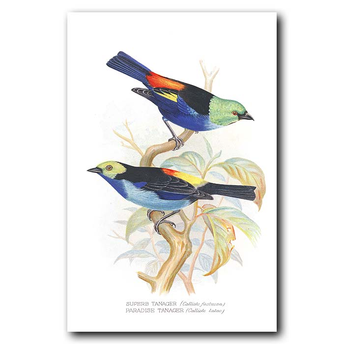 Fine art print for sale. Superb And Paradise Tanager Finches