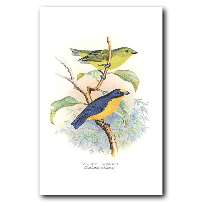 Fine art print for sale. Violet Tanager Finches (Euphonia Violacea)