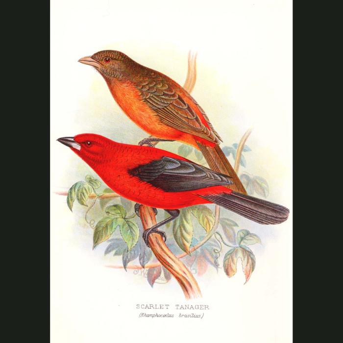 Fine art print for sale. Scarlet Tanager Finches (Rhamphocoelus Brasilius)