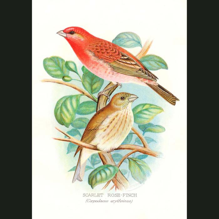 Fine art print for sale. Scarlet Rose Finch (Carpodacus Erythrinus)