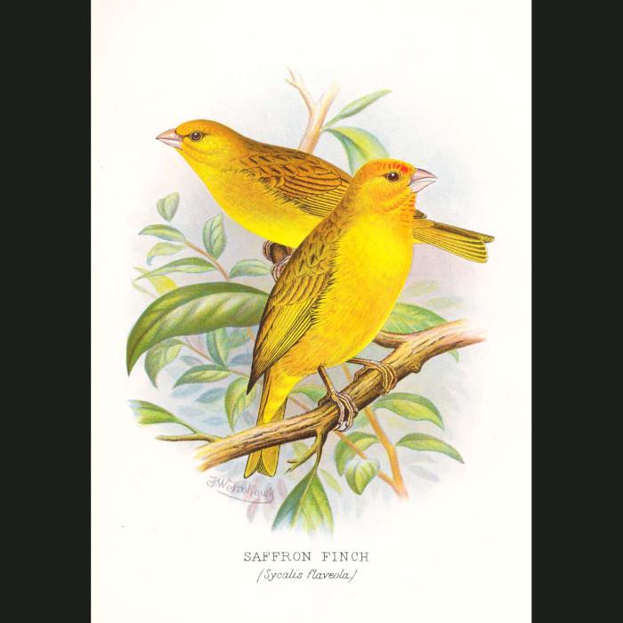 Fine art print for sale. Saffron Finches (Sycalis Flaveola)
