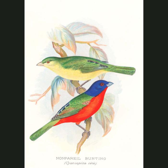 Fine art print for sale. Nonpareil Bunting Finch (Cyanopiza Ciris)