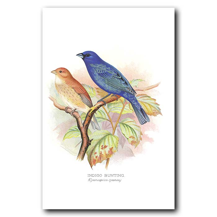 Fine art print for sale. Indigo Bunting Finch (Cyanopiza Cyanea)