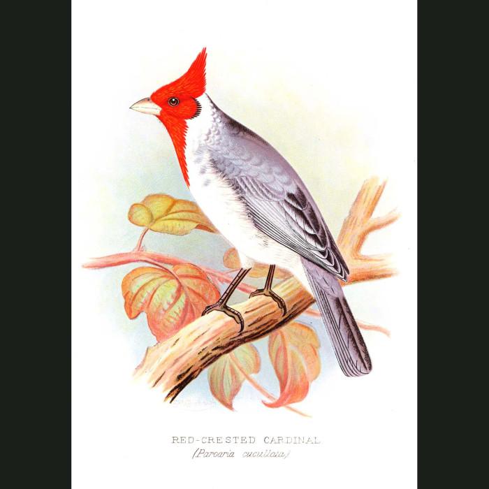 Fine art print for sale. Red-Crested Cardinal Finch. Paroaria Cucullata