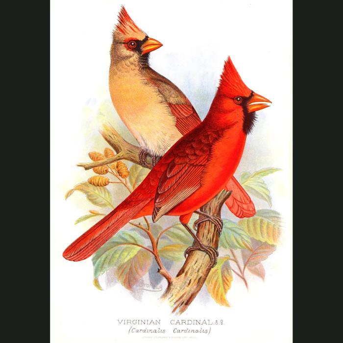 Fine art print for sale. Virginian Cardinal Finch (Cardinalis Cardinalis