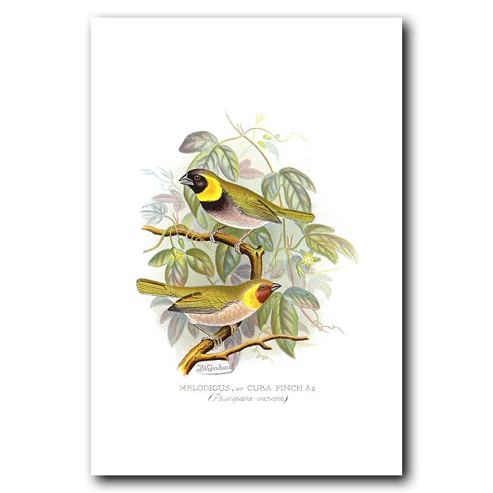 Fine art print for sale. Melodious Finch (Phonipara Canora)