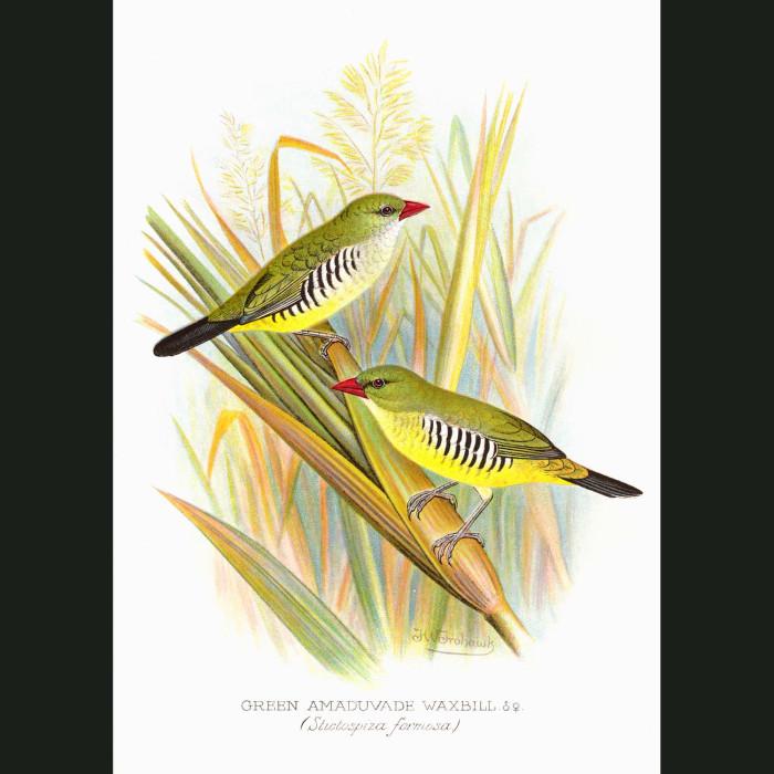 Fine art print for sale. Green Amaduvade Waxbill Finch (Stictospiza Formosa)