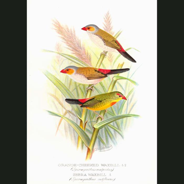 Fine art print for sale. Orange Cheeked & Zebra Wax Bill Finches