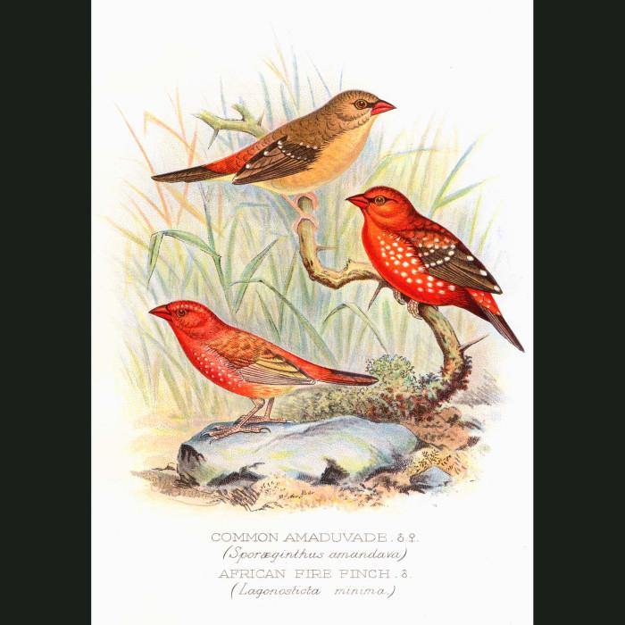 Fine art print for sale. Amaduvade Waxbill & African Fire Finch