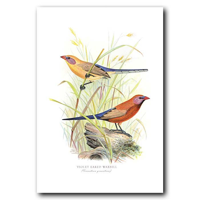 Fine art print for sale. Violet Eared Wax Bill Finches (Granatina Granatina)