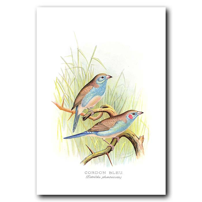 Fine art print for sale. Cordon Bleu Finch (Estrilda Phoenicotis)