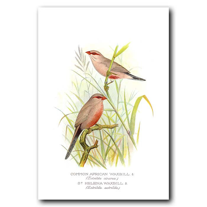 Fine art print for sale. African And St Helena Waxbill Finches