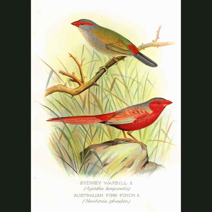 Fine art print for sale. Fire Finch & Sydney Waxbill Finch