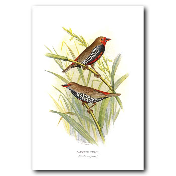 Fine art print for sale. Painted Finch (Emblema Picta)