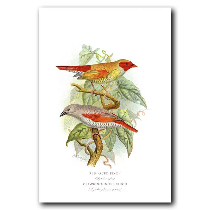 Fine art print for sale. Red Faced And Crimson Winged Finches