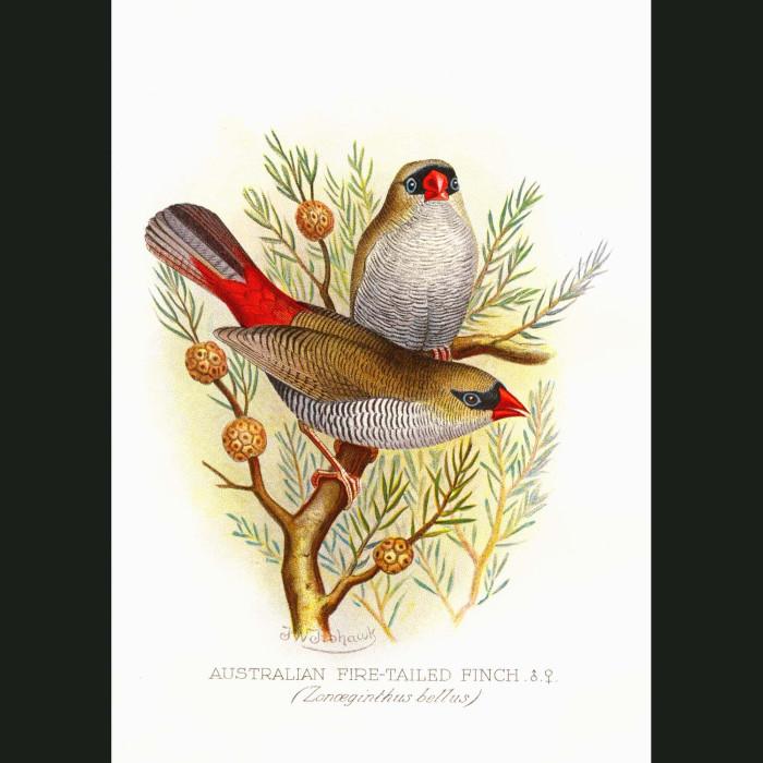 Fine art print for sale. Fire Tailed Finch (Zonoeginthus Bellus)
