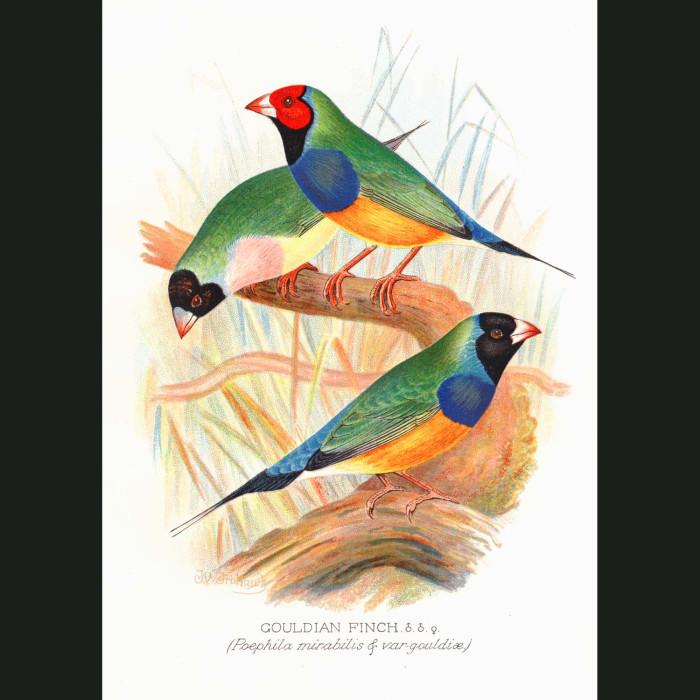 Fine art print for sale. Gouldian Finch (Poephila Mirabalis)