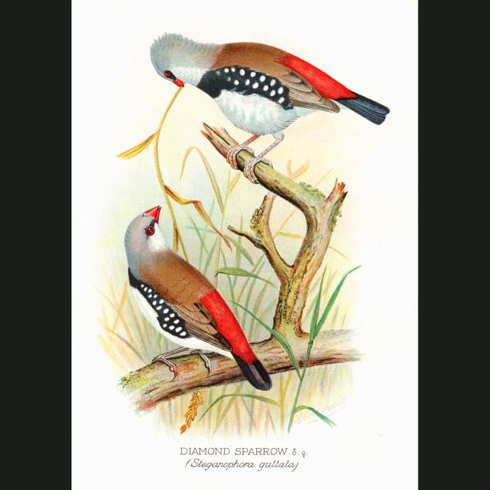 Fine art print for sale. Diamond Sparrow (Stegamopleura Guttata)