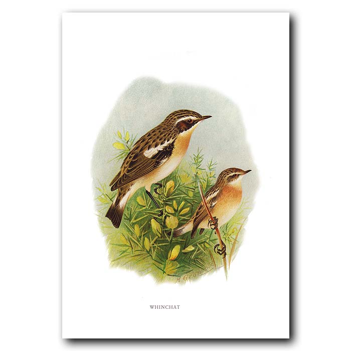 Fine art print for sale. Whinchat