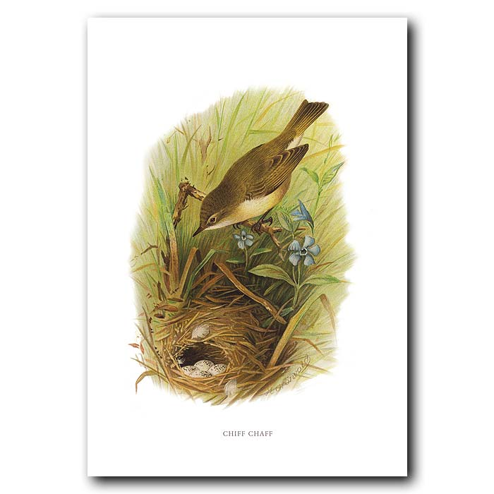 Fine art print for sale. Chiffchaff Warbler, Nest And Eggs