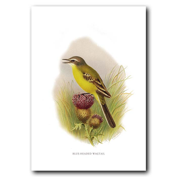 Fine art print for sale. Blue-Headed Wagtail