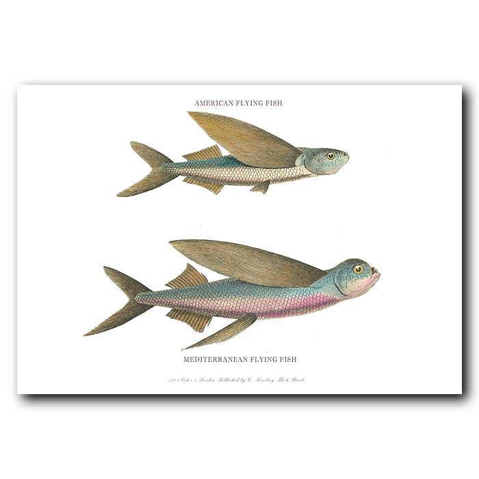 Fine art print for sale. American and Mediterranean Flying Fish