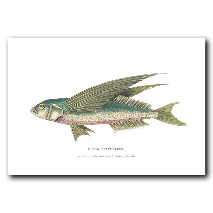 Fine art print for sale. Oceanic Flying Fish (II)