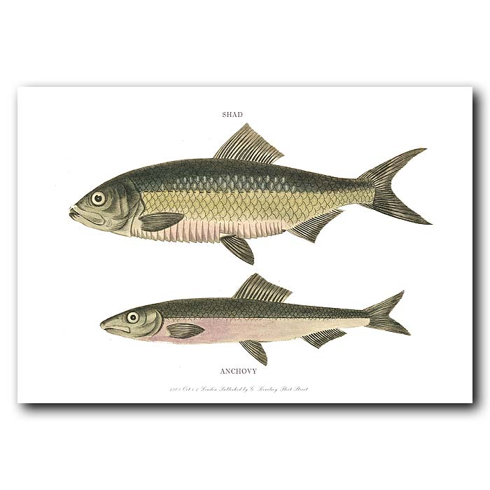 Fine art print for sale. Shad & Anchovy fish.