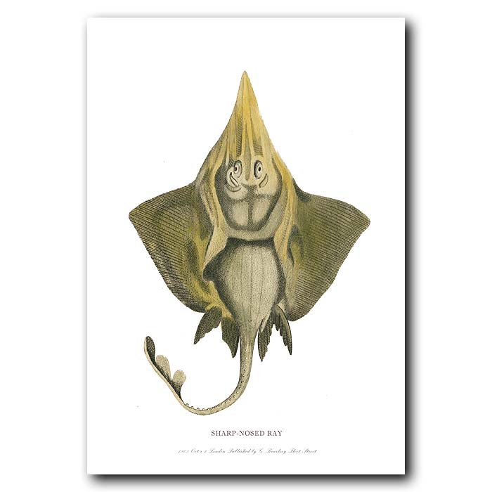 Fine art print for sale. Sharp-nosed Ray