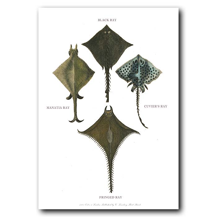 Fine art print for sale. Sting Ray