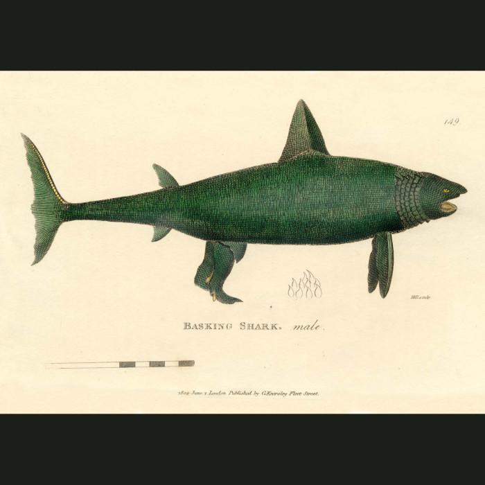 Fine art print for sale. Basking Shark (male)