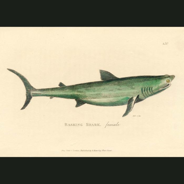 Fine art print for sale. Basking Shark (female)