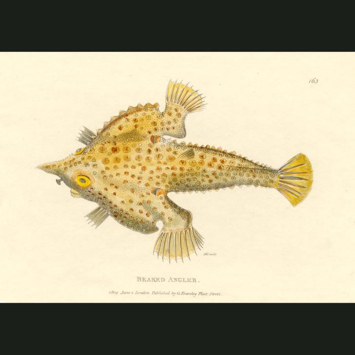 Fine art print for sale. Bearded Angler Fish