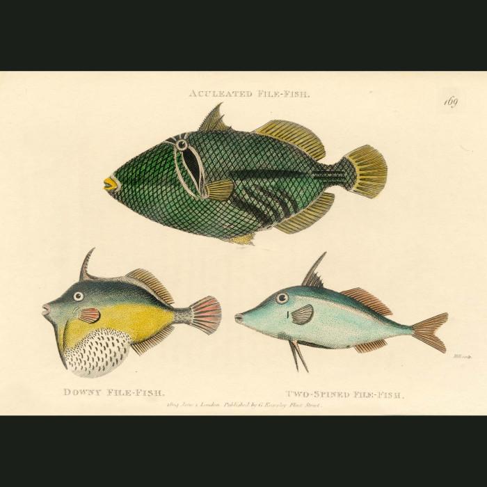 Fine art print for sale. Trigger Fish (II)