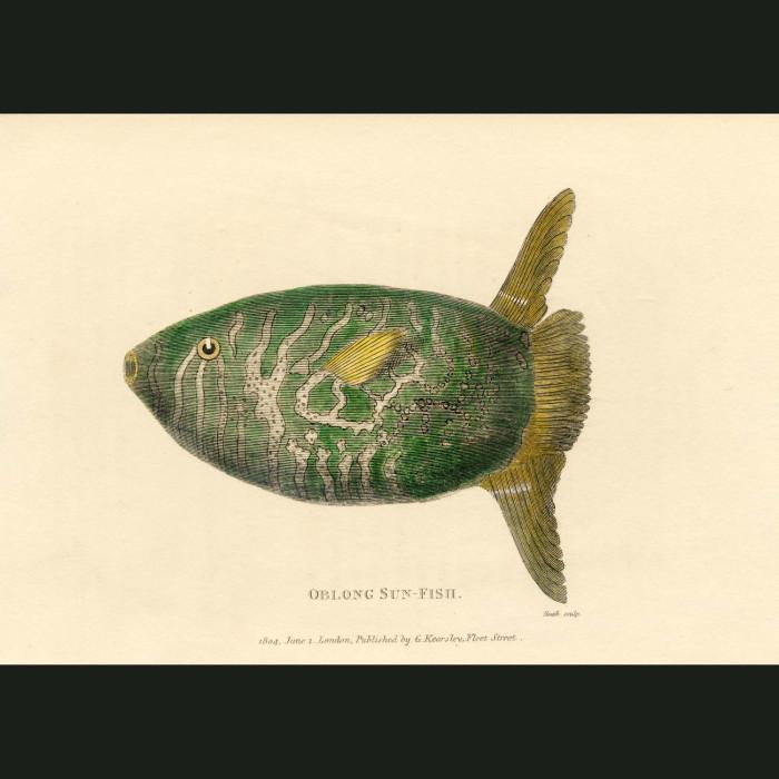 Fine art print for sale. Oblong Sunfish