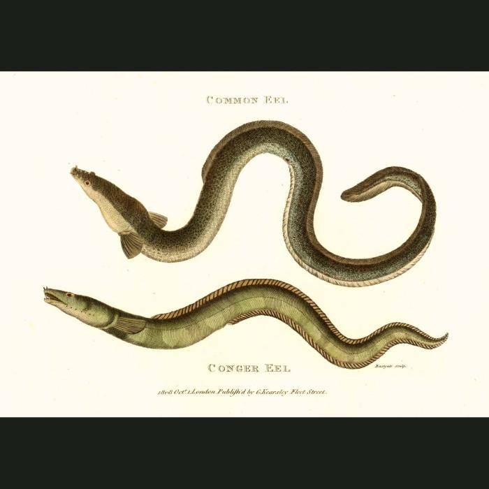 Fine art print for sale. Conger Eel and Common Eel
