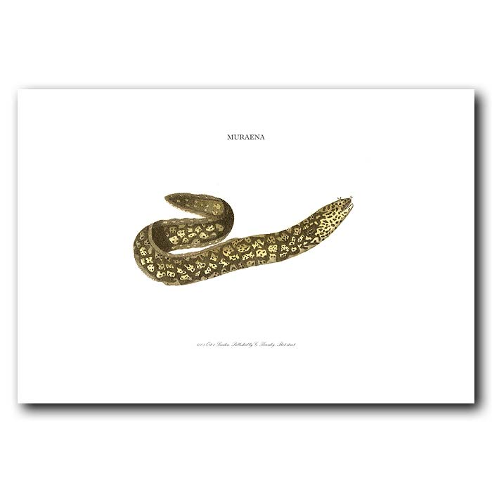 Fine art print for sale. Spotted Moray Eel