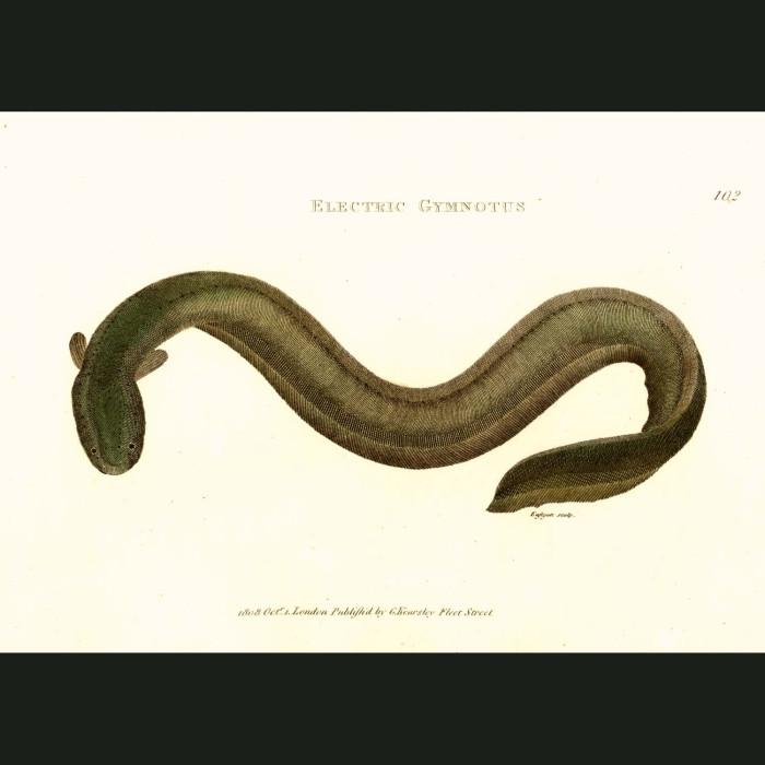 Fine art print for sale. Electric Eel