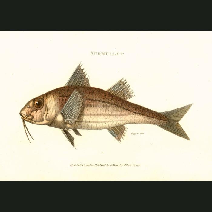 Fine art print for sale. Sea Mullet