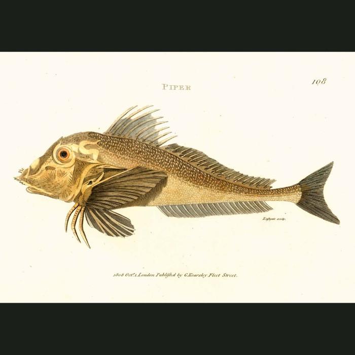 Fine art print for sale. Piper Fish