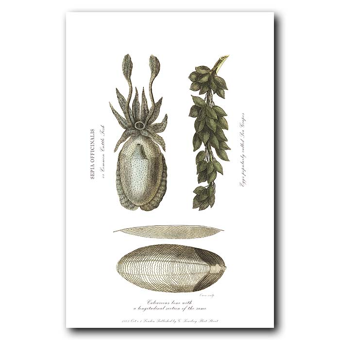 Fine art print for sale. Cuttlefish