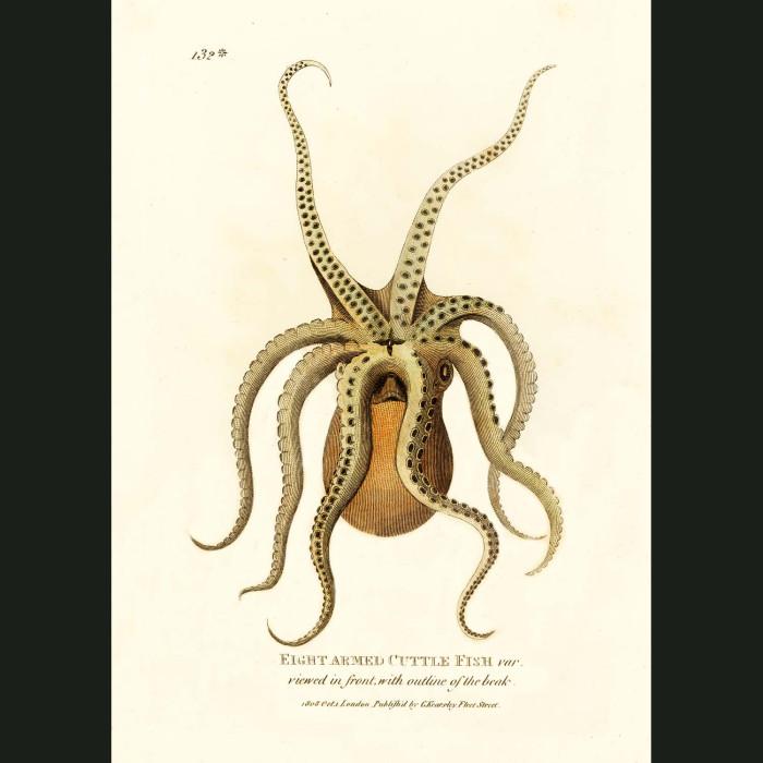 Fine art print for sale. Eight Armed Cuttlefish (III)