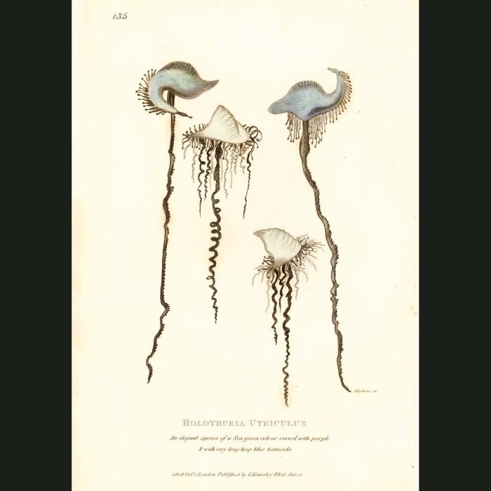Fine art print for sale. Bluebottle Jellyfish