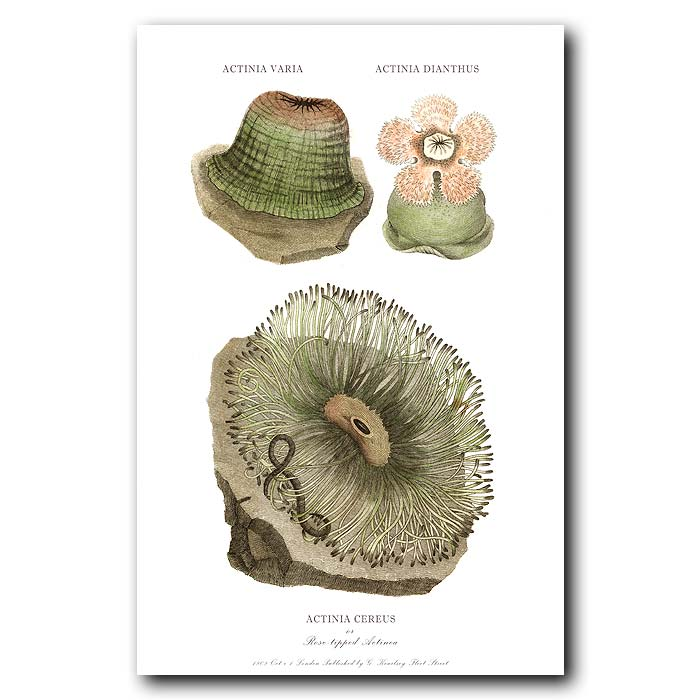 Fine art print for sale. Rose Tipped Sea Anemone