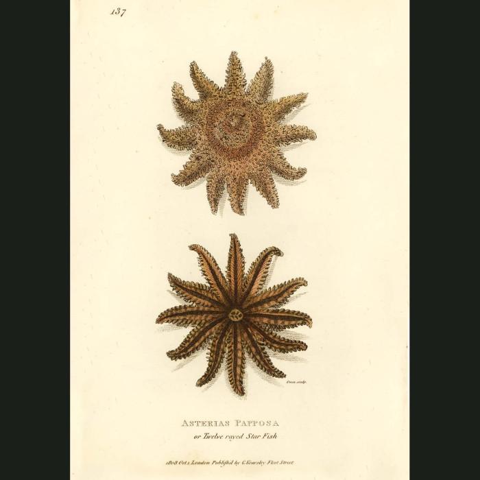 Fine art print for sale. Twelve Rayed Star Fish