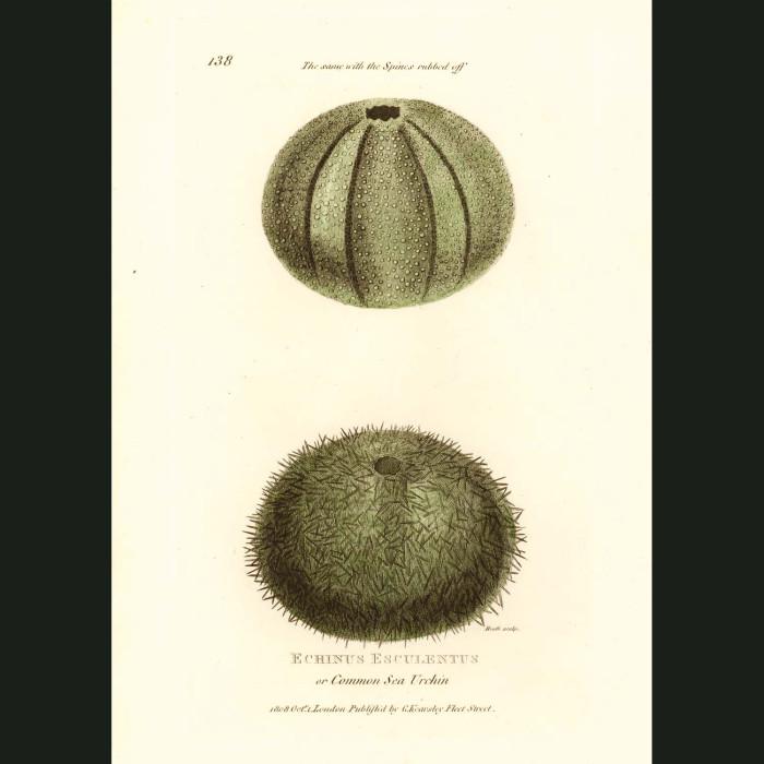 Fine art print for sale. Sea Urchin