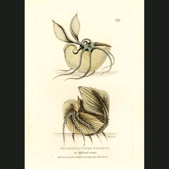 Fine art print for sale. Argonaut or Paper Nautilus
