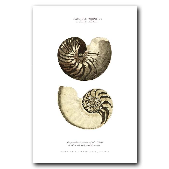 Fine art print for sale. Pearly Nautilus