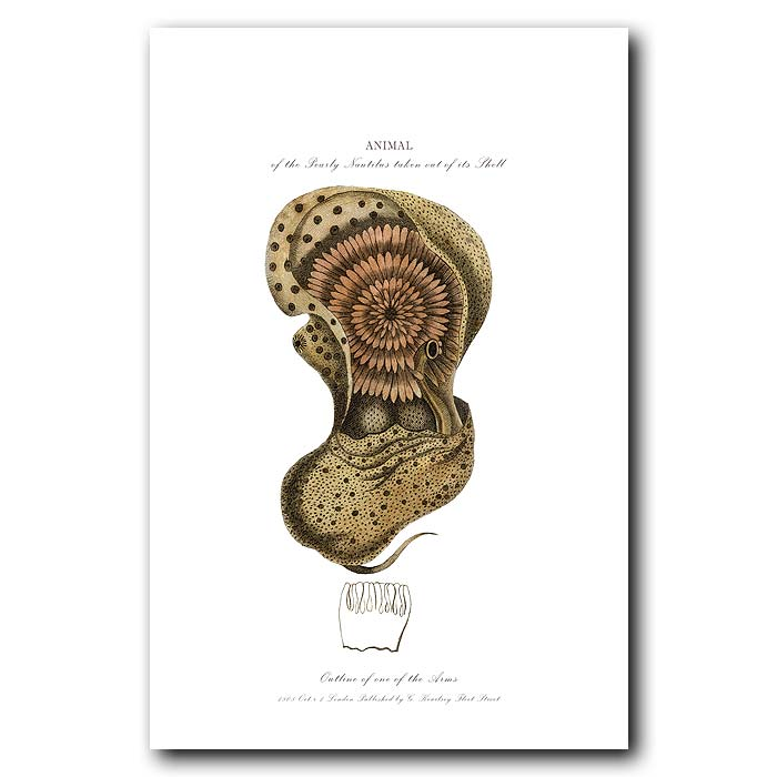 Fine art print for sale. Pearly Nautilus and its Sail (II)